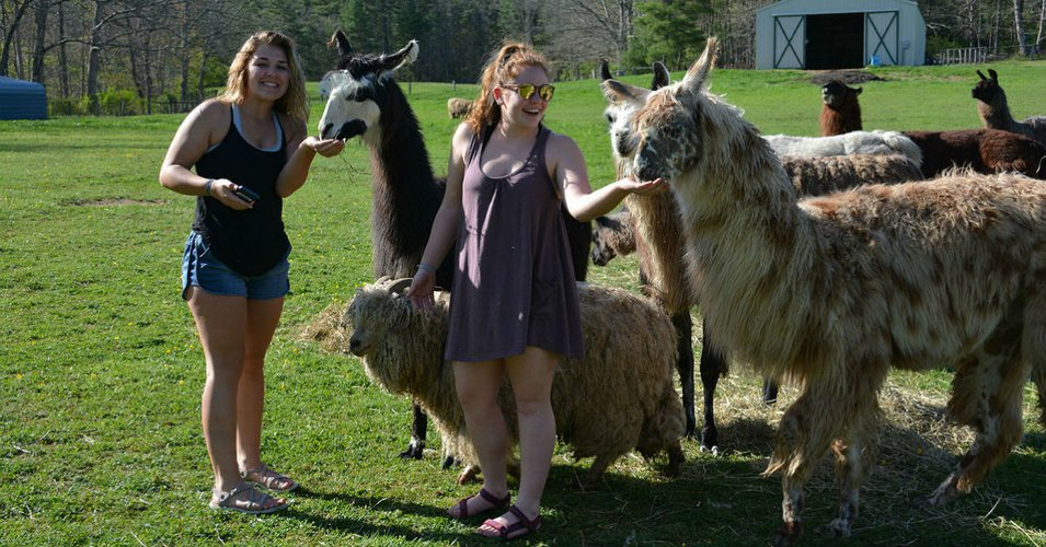 BBHS Students Feeding Llamas