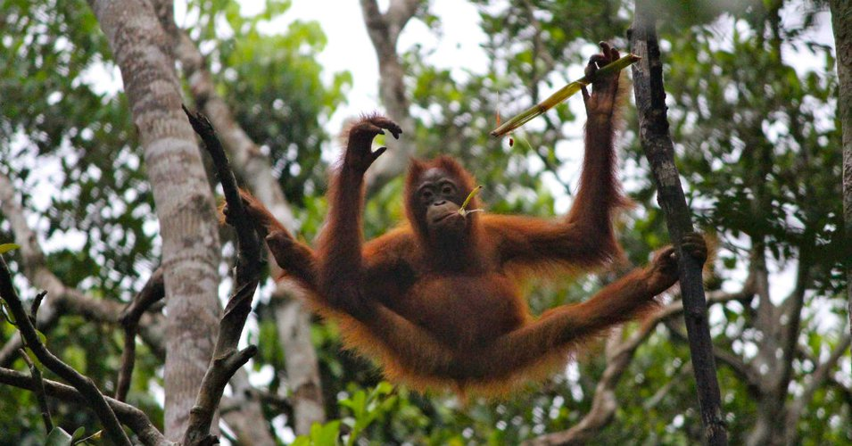 Orangutan in Trees